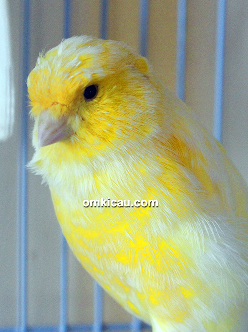 Breeding kenari PM 77 Canary BF Jambi