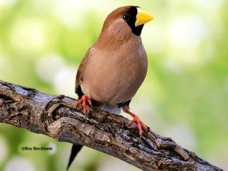 Burung masked finch dengan topengnya yang cantik
