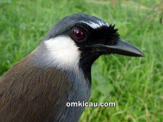 Burung poksay hongkong