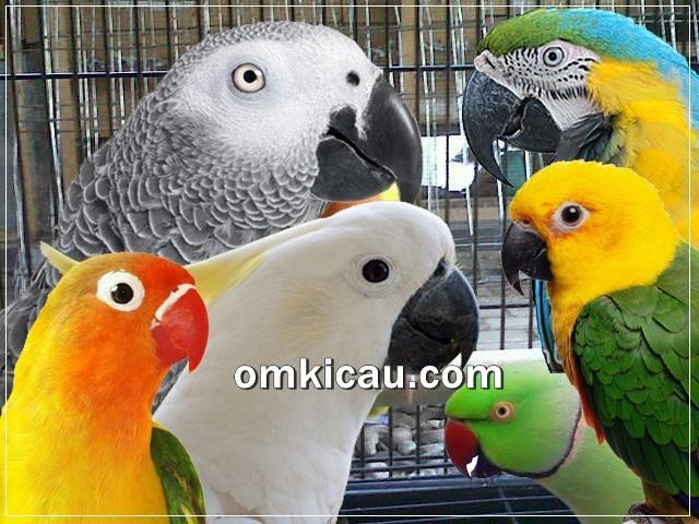 Burung paruh bengkok disebut juga sebagai parrot