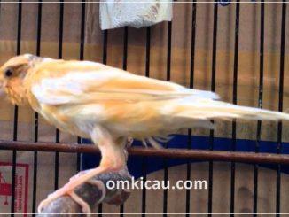 Burung kenari dapat mengalami masalah mabung sebelum waktunya