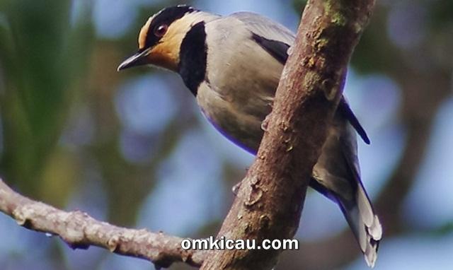 Burung tawau dada-hitam yang unik dengan asal-usul yang misterius