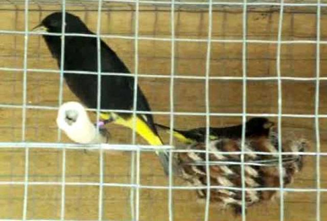 Burung siskin hitam yang sedang ditangkarkan