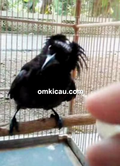 Suara burung awar-awar alias srigunting jambul-rambut