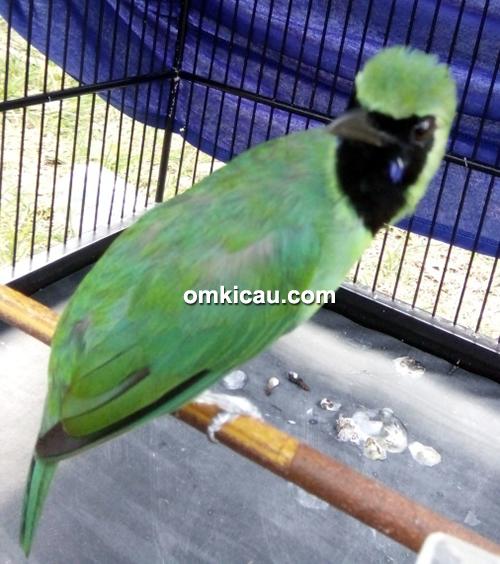 Cucak hijau Bejo