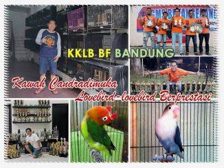 Breeding lovebird KKLB BF Bandung
