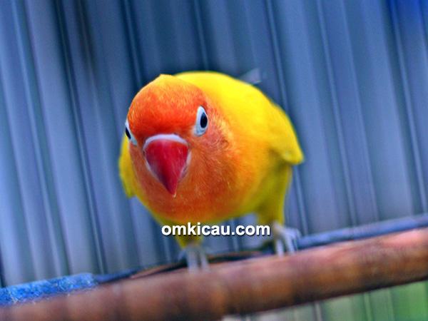 Lovebird Monalisa
