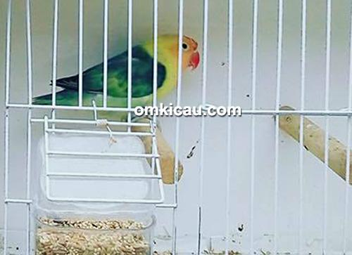 Lovebird Putri Cempo milik Om Lalang Kibar, juara 1 Pied dan juara 2 Parblue