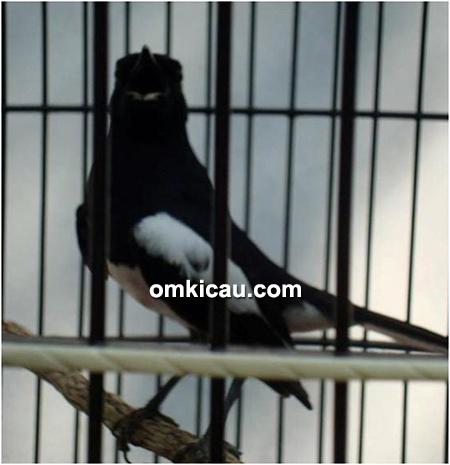 Latber Yudhistira BC Tegal Empat Sesi Lovebird Full