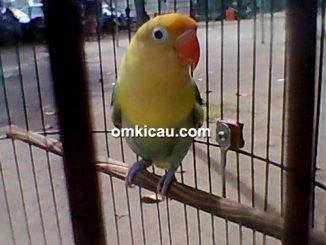 Lovebird Lolypop