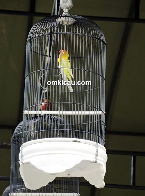 Aksi lovebird Kusumo