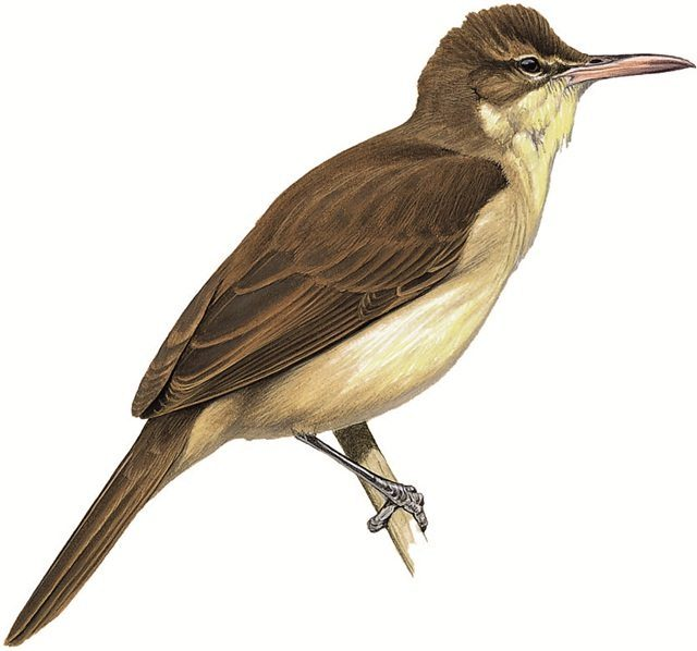 Pagan Reed-warbler