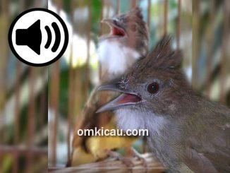 Lima audio burung cucak jenggot iisian untuk masteran