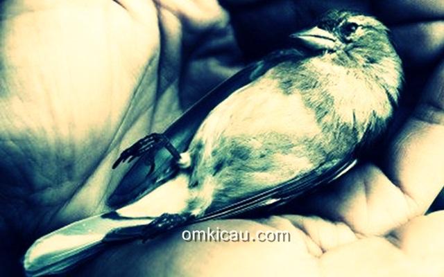Burung yang lemah karena keracunan darah