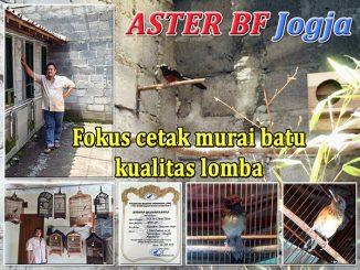 Penangkaran murai batu Aster BF Jogja