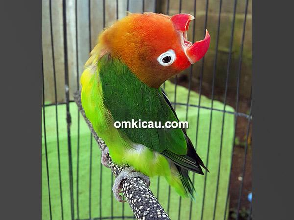 Lovebird Napoleon