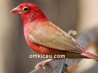 Red-billed firefinch atau senegal firefinch yang berbulu merah nan cantik