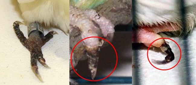 Kaki burung menjadi hitam dan tidak bisa digunakan akibat kerusakan jaringan