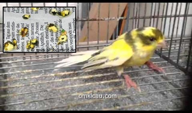 Kotoran burung yang bercampur pakan utuh