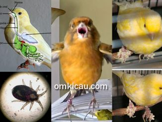 Mengenali penyakit yang umum menyerang burung kenari