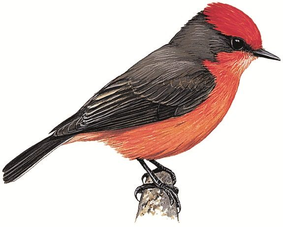 Least Vermilion Flycatcher