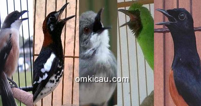 Merawat burung agar bersuara lebih maksimal