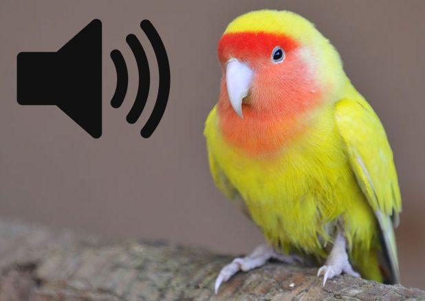 Download suara panggilan burung lovebird