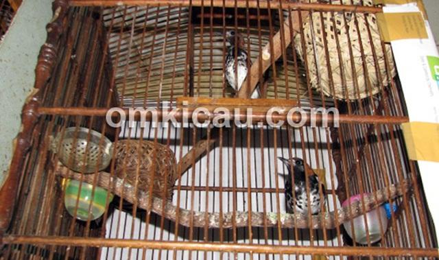 Proses ternak burung anis kembang yang menggunakan sangkar gantung