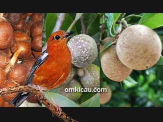 Mengenal tiga jenis buah-buahan yang dapat membuat anis merah rajin berbunyi