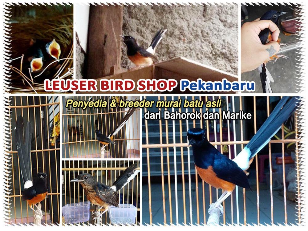 Leuser Bird Shop Pekanbaru-penangkaran