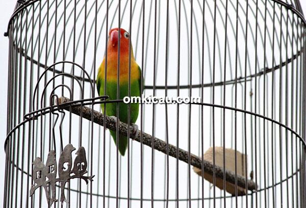 Lovebird Bravest Boy