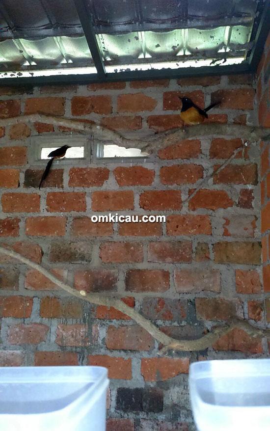 Breeding murai batu Falcon BF Sukabumi
