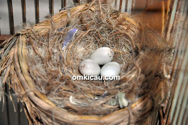 Breeding burung master impor
