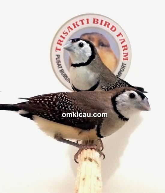 Burung owl finch