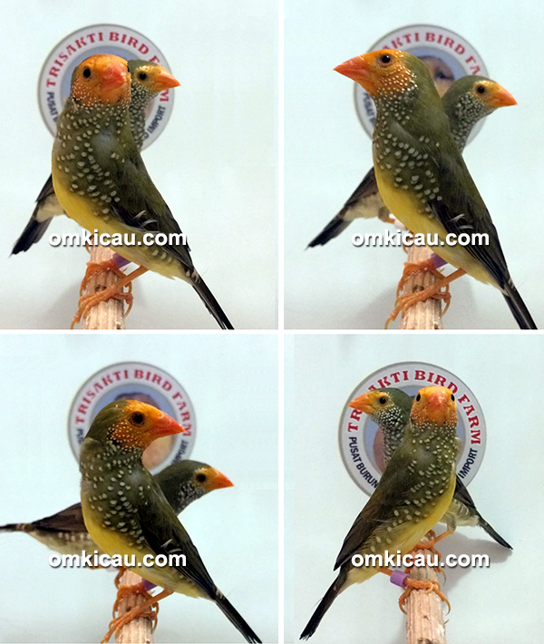Star finch yellow face