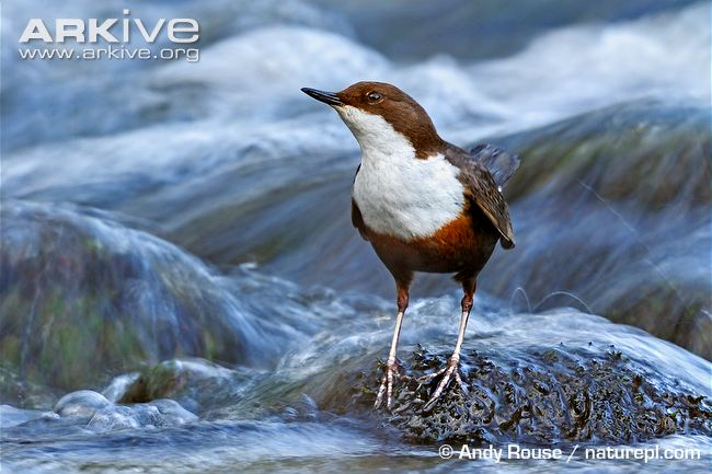 Burung white-throated dipper