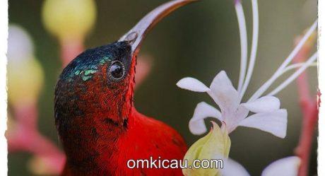 Suara Kolibri Sepah Raja Om Kicau