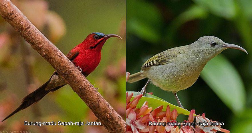 Burung-madu sepah-raja jantan (kiri) dan betina