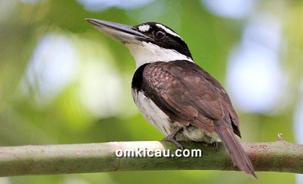 Burung cekakak murung endemik Halmahera