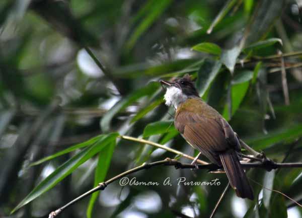 Burung empuloh janggut di Kebun Raya Bogor Foto: Asman A Purwanto (4Raptor.wordpress.com)