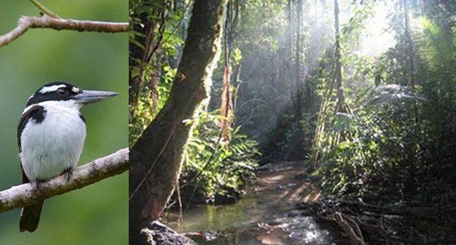 Habitat burung cekakak di Halmahera