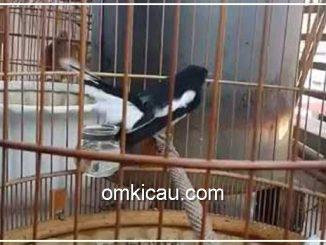Kacer burung yang agresif dan sangat rentan terhadap stres