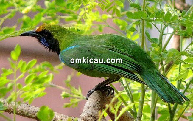 Tips menjaga kondisi burung cucak hijau agar tampil maksimal