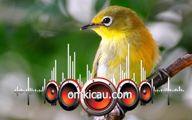 Suara masteran full tembakan untuk burung pleci