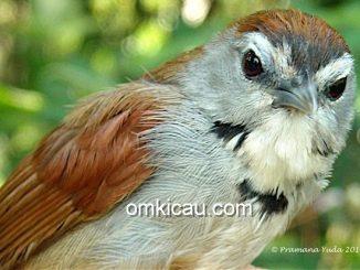 Burung tepus pipi-perak yang dilindungi   Foto: Pramana Yuda , OBI