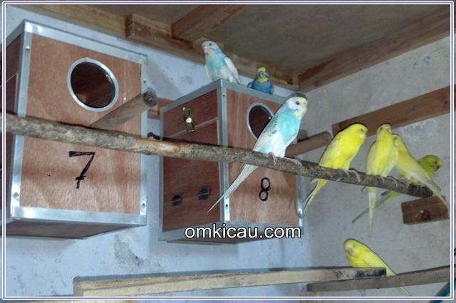Tips dan trik berternak burung parkit agar cepat bertelur