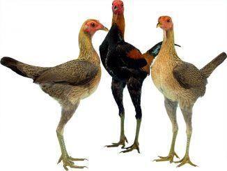 Ayam jangkung yang banyak dipelihara sebagai ayam hias