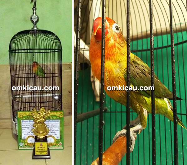 Lovebird Caissia milik Om Tole Arun