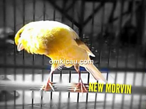 Kenari New Morvin
