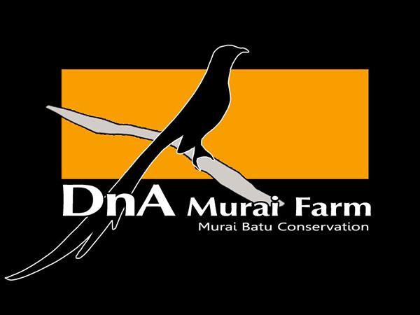 Breeding murai batu DNA Murai Farm